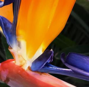 papagai-pflanze